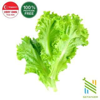 Netafarm Pesticide-Free Leaf Lettuce