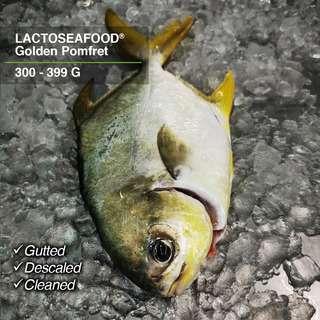 LACTOSEAFOOD Golden Pomfret 300-399g
